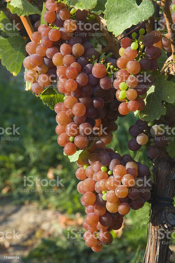 Grape cluster on vine in New York wine country royalty-free stock photo