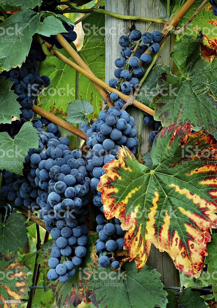 Grape Clusters royalty-free stock photo
