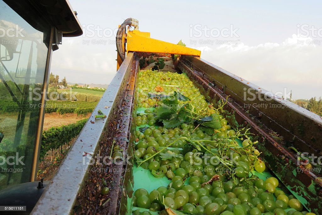Grape Conveyor stock photo