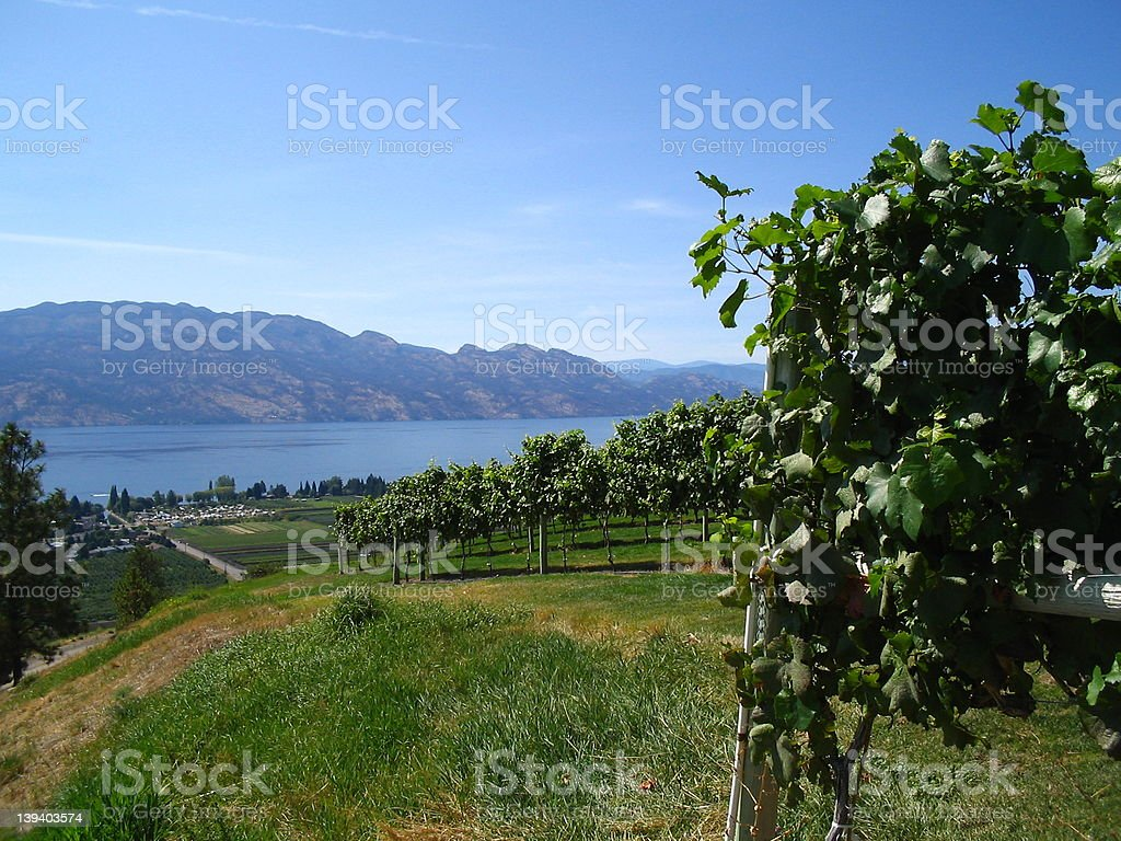 Grape crop - Westbank royalty-free stock photo