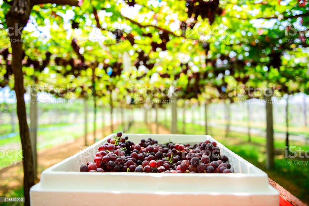 Grape Farm Tak ,Thailand stock photo