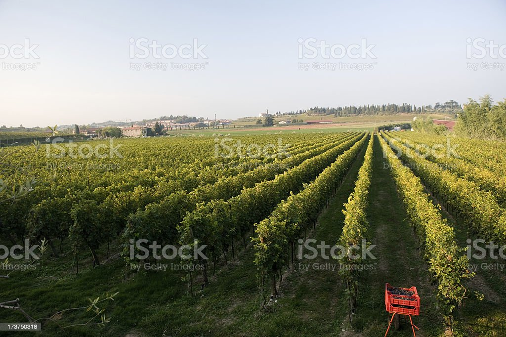 grape field royalty-free stock photo