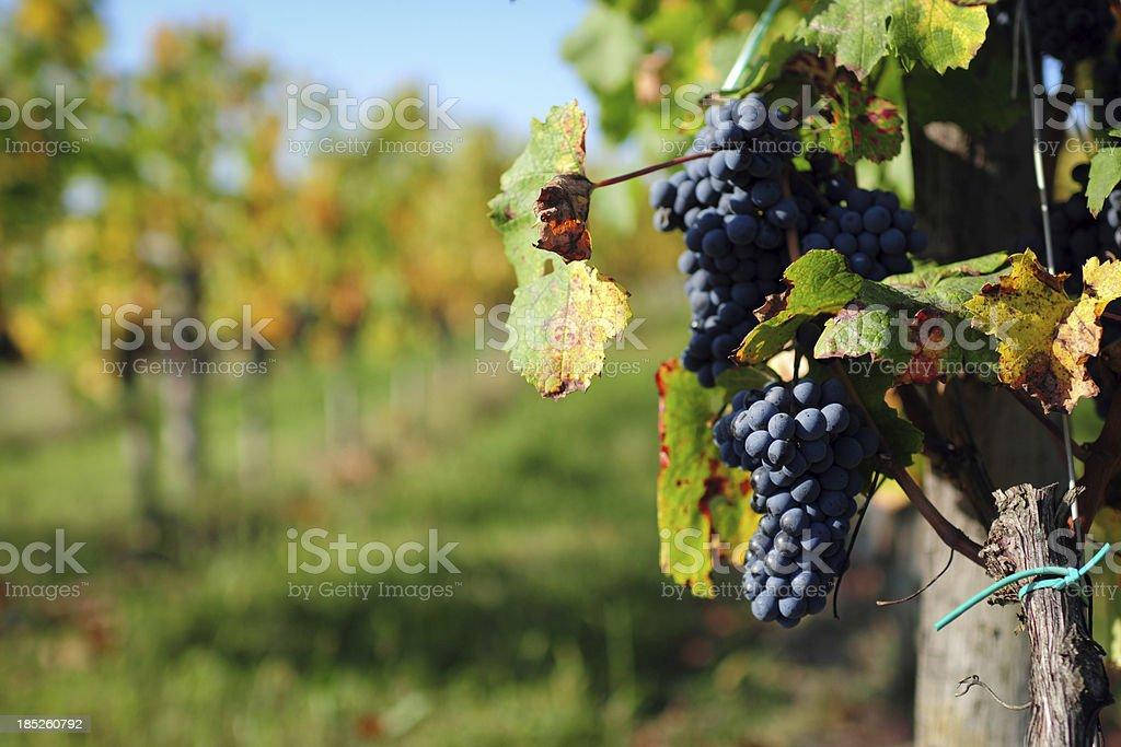 Grape Field - XLarge stock photo