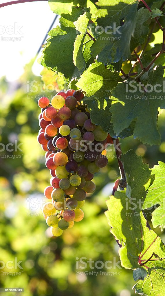 Grape Fruit at Sunset royalty-free stock photo