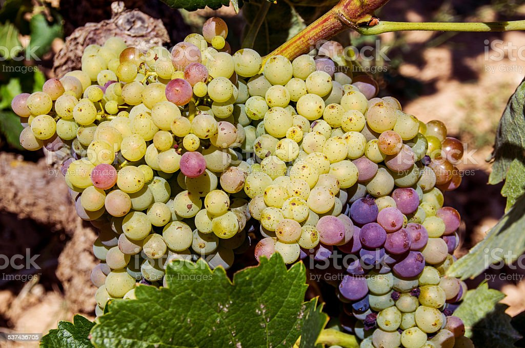 grape grapes white yellow red maturing sun green bokeh stock photo