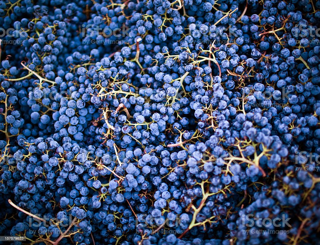 grape harvest, napa valley stock photo