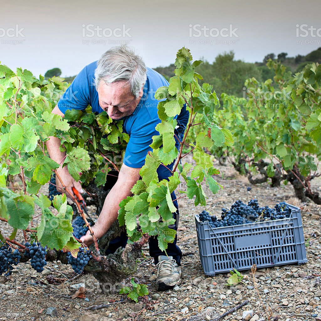 Grape harvest royalty-free stock photo