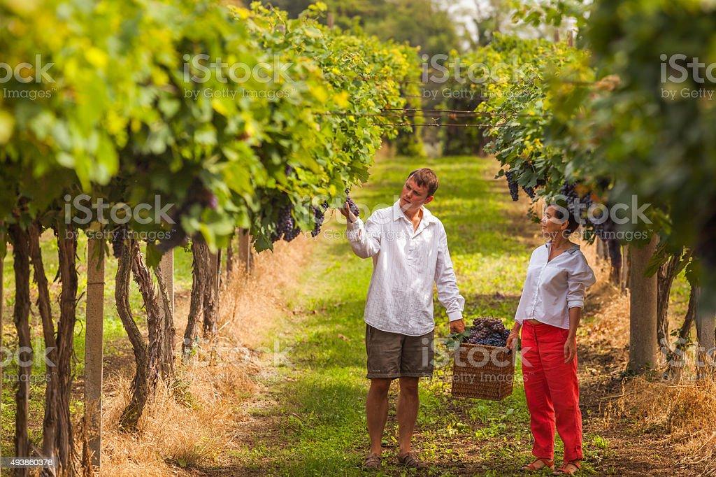 Grape harvest stock photo