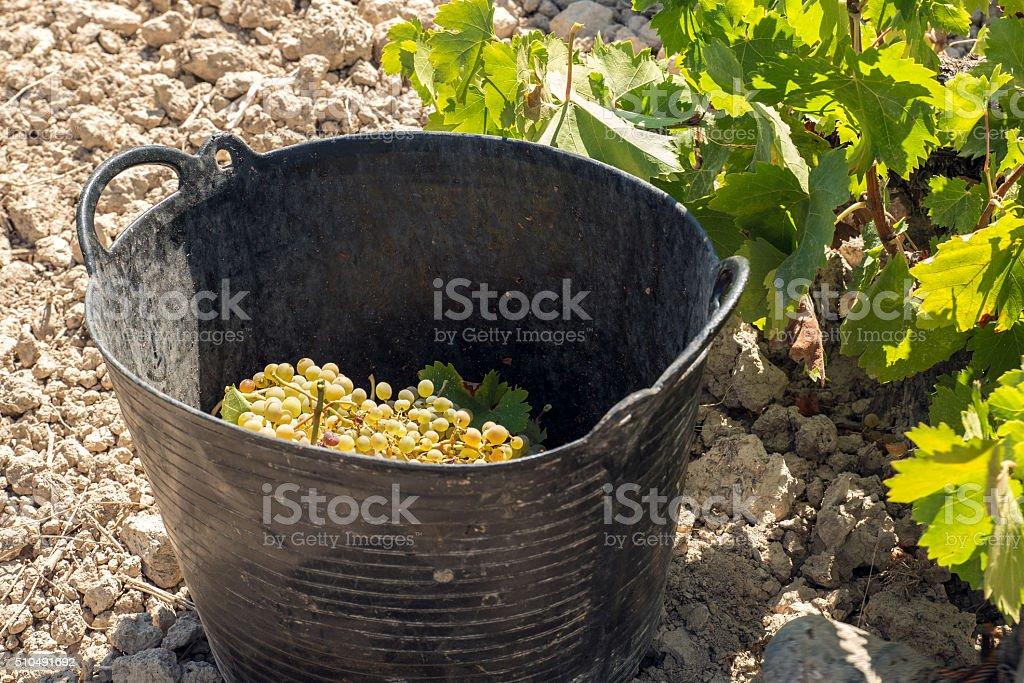Grape harvest. stock photo
