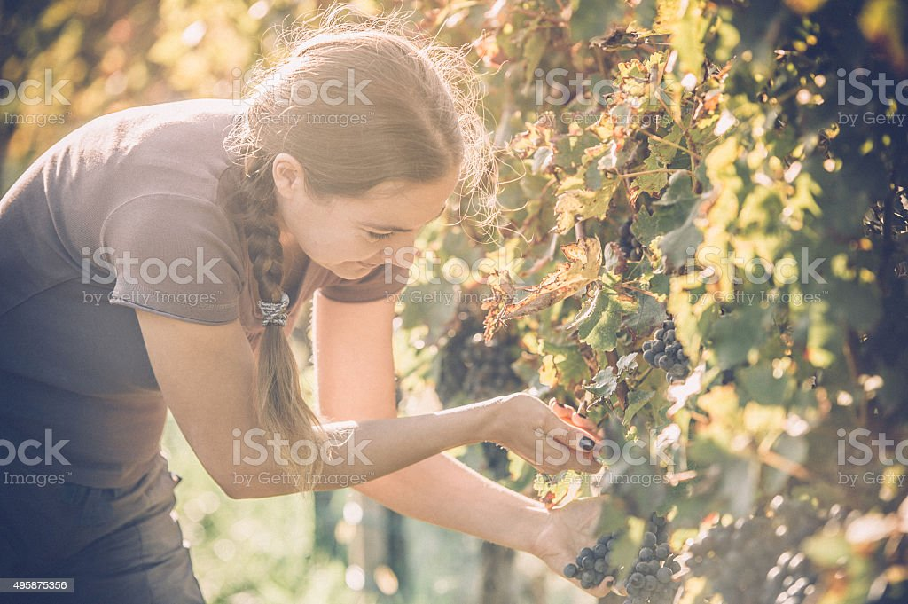 Grape Harvester stock photo