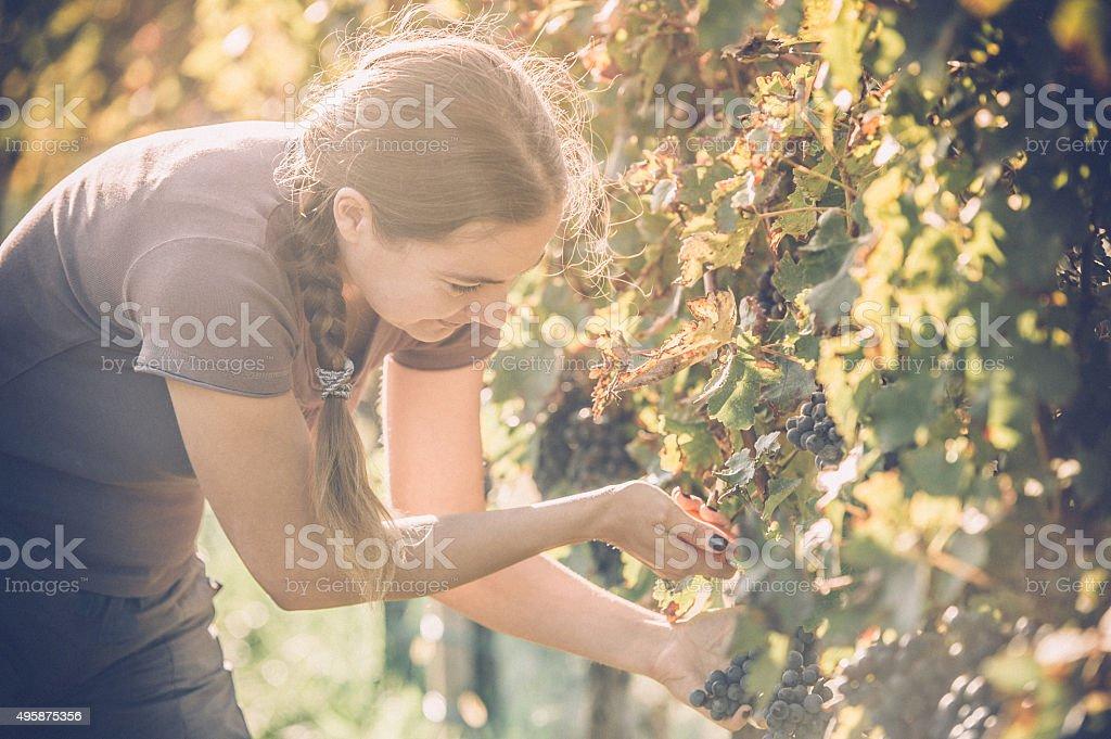 Grape Harvester stock photo