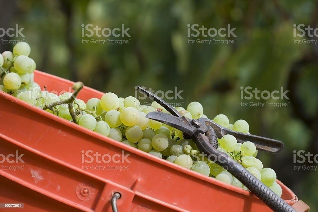 grape harvesting tool royalty-free stock photo