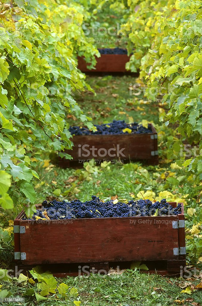 grape harvesting vineyard okanagan valley royalty-free stock photo