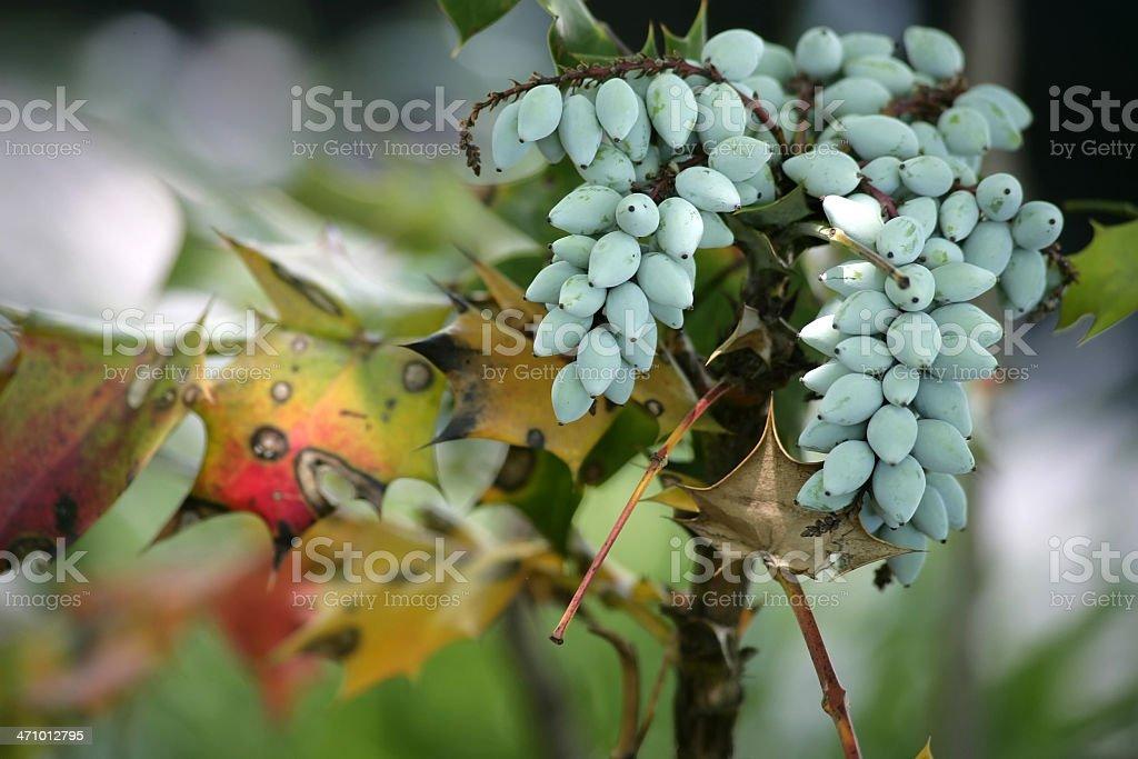 Grape Holly royalty-free stock photo