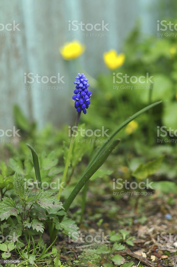 grape hyacinth (blue muscari) flower close-up royalty-free stock photo