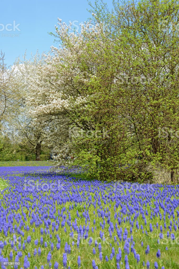 Grape Hyacinth in blossom and cherry tree in a park stock photo