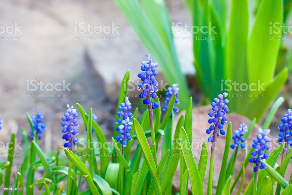 Grape hyacinth (Muscari armeniacum) in spring stock photo