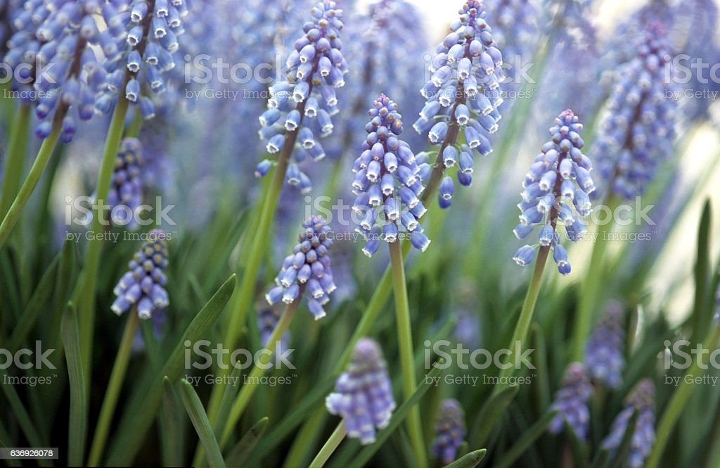 grape hyacinth (Muscari sp.) is a perennial bulb stock photo