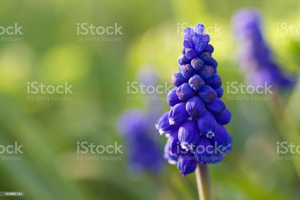Grape hyacinth royalty-free stock photo