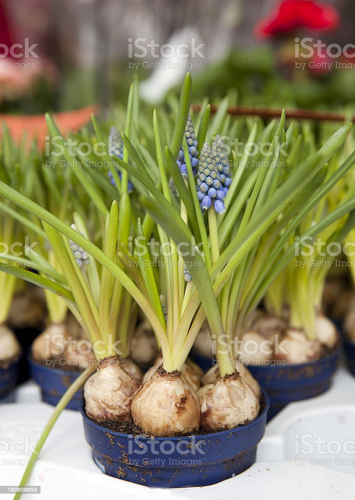 Grape Hyacinths for Sale at Flower Market royalty-free stock photo