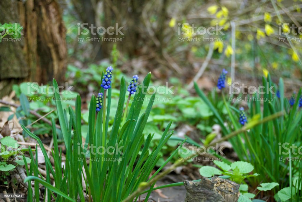 Grape Hyacinths in the Woods stock photo