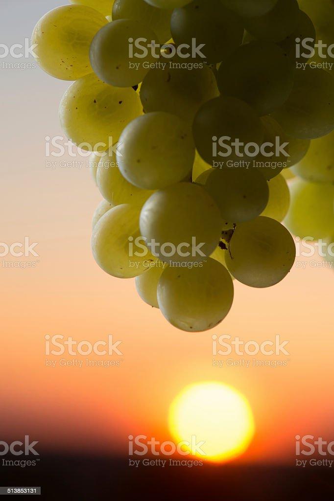 Grape illuminated by the sunlight - autumn scene stock photo