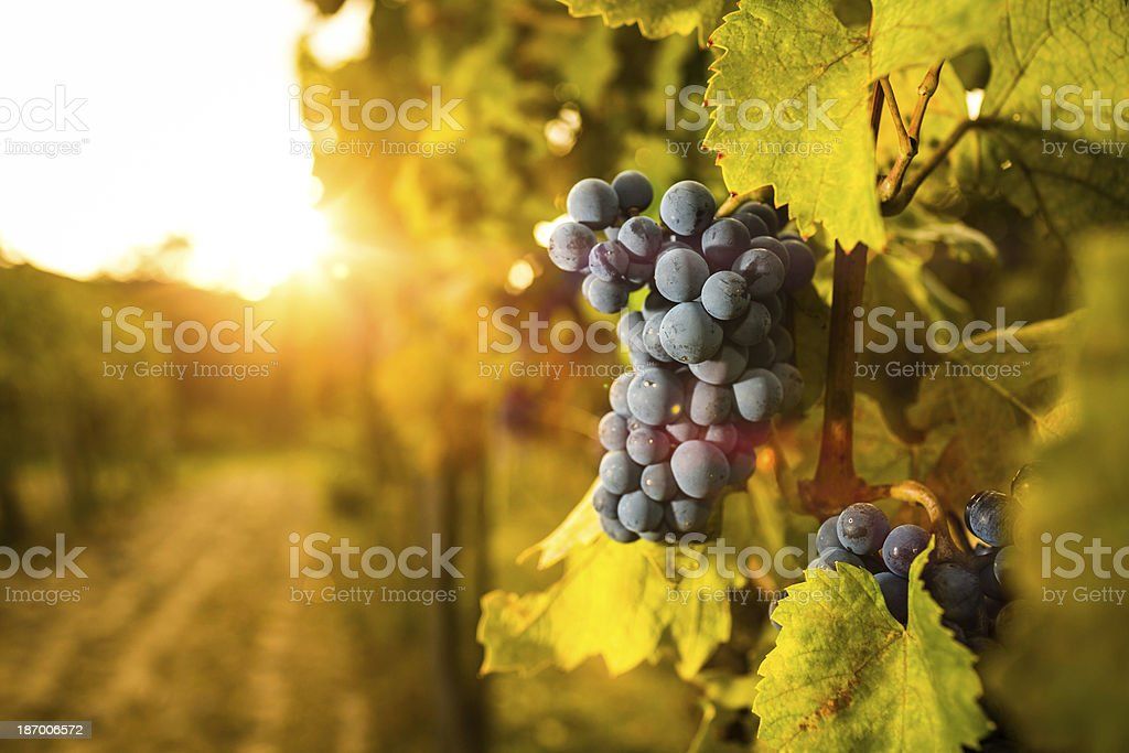 Grape in the vineyard. stock photo