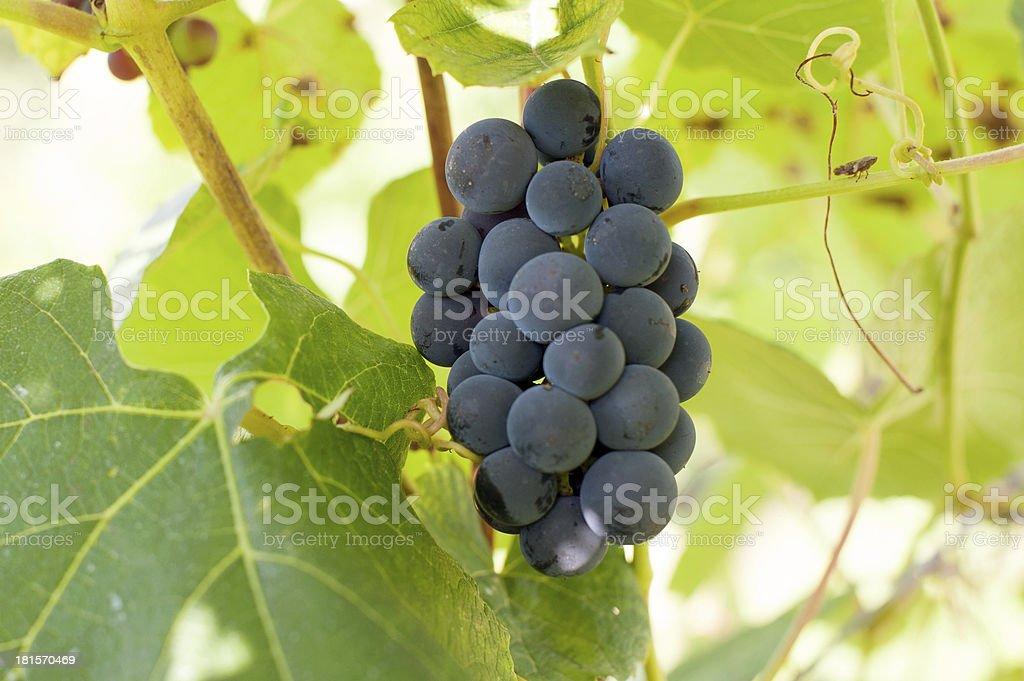 grape in vineyard royalty-free stock photo