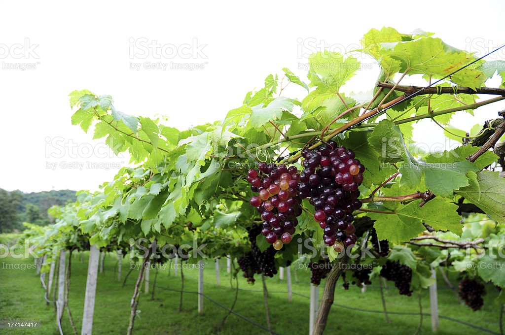 Grape in wine or vine yard with fresh fruit royalty-free stock photo