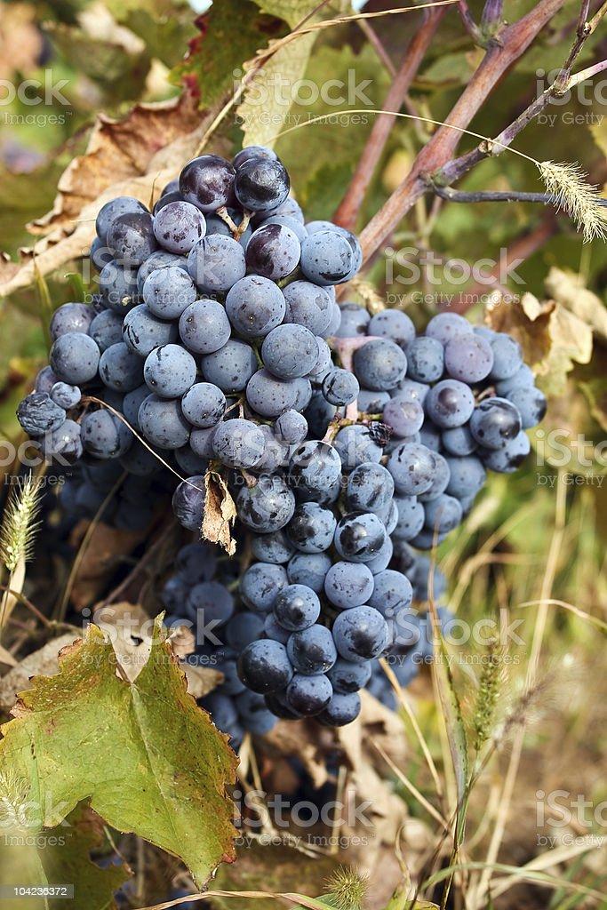 Grape in wineyard stock photo