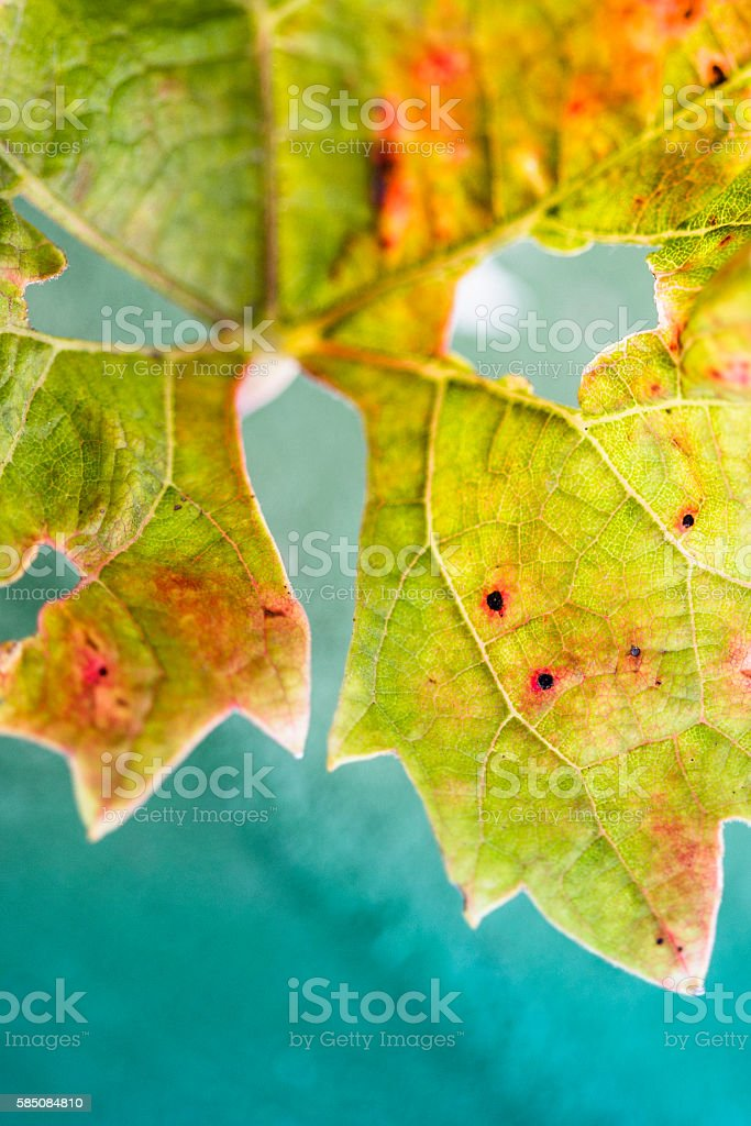 Grape leaf changing color in autumn. stock photo