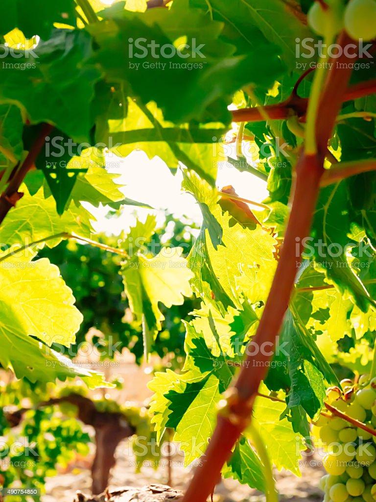Fundo Desfocado de folhas de uva e raios de sol foto royalty-free