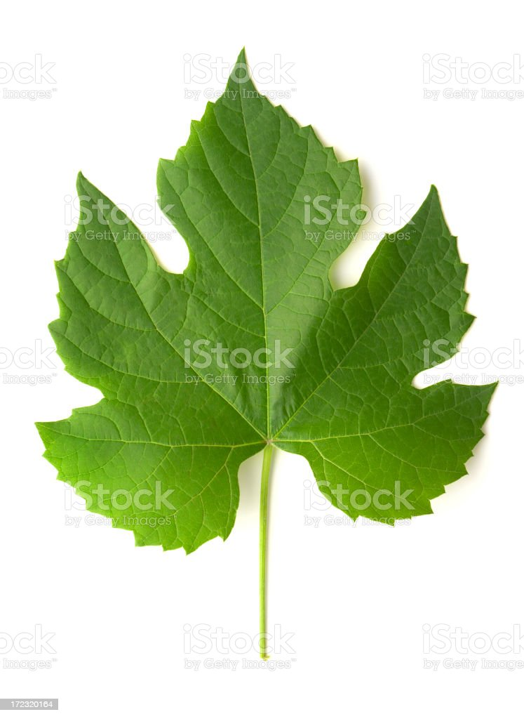 Grape Leaf Isolated cut out on White Background stock photo