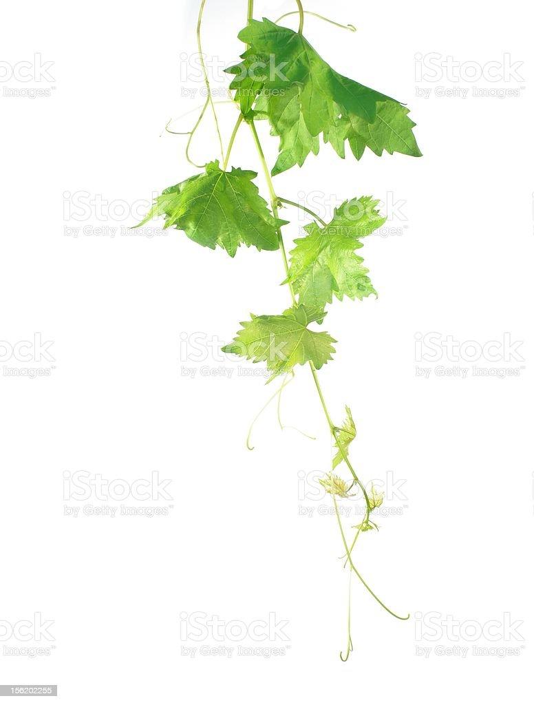 grape leaf royalty-free stock photo
