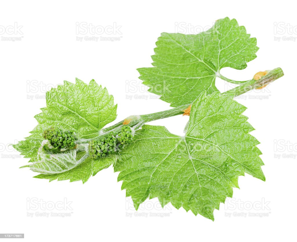 grape leaf royalty-free stock photo