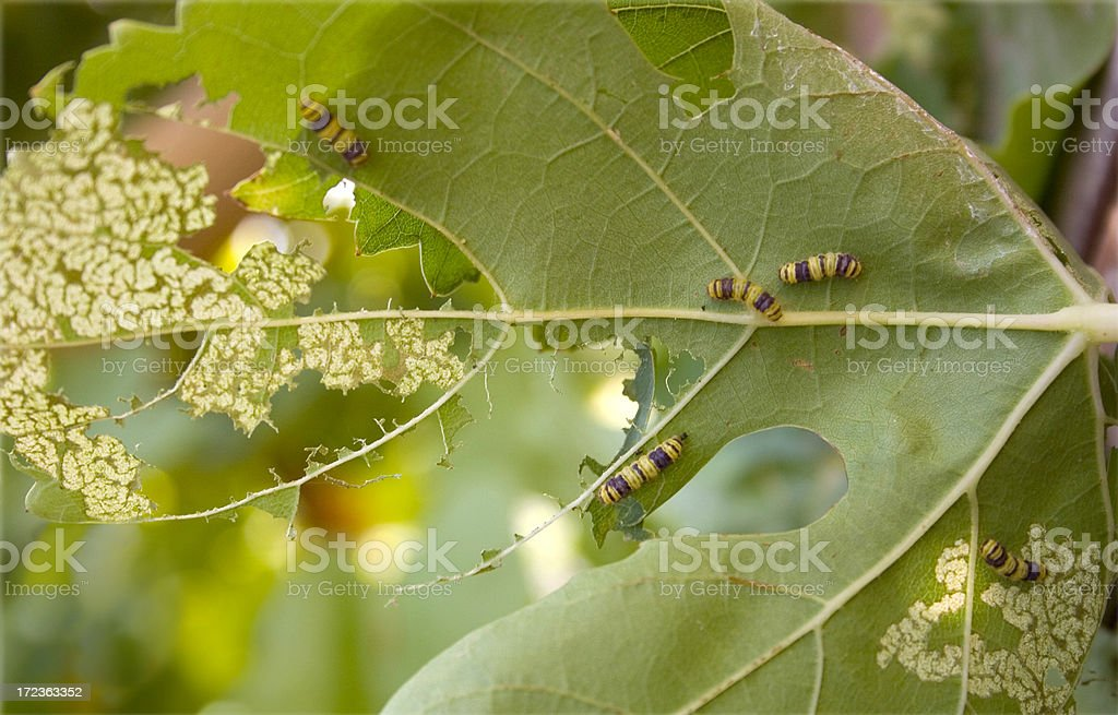 Grape Leaf Skeletonizers royalty-free stock photo