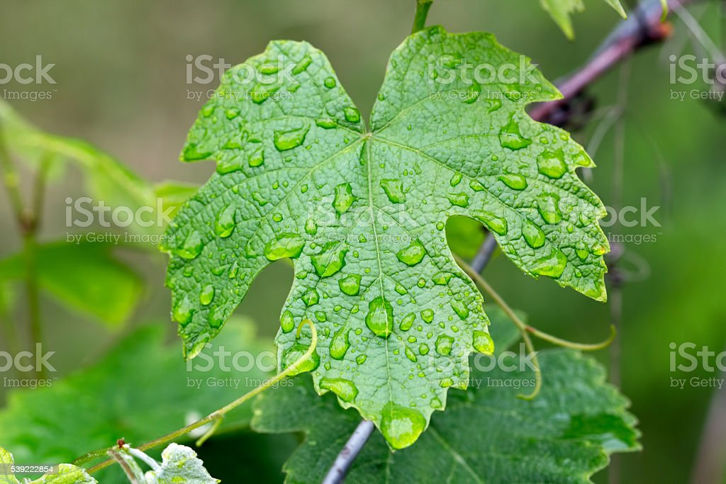 grape leaf with water drops stock photo
