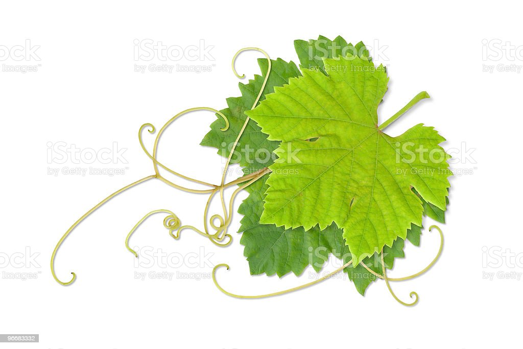 Grape leaves 02 royalty-free stock photo