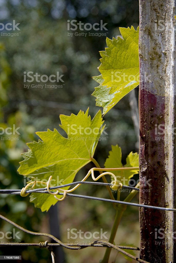 Grape leaves and tendrils on wire royalty-free stock photo