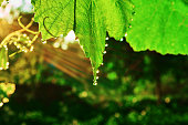 Grape leaves are covered with dew