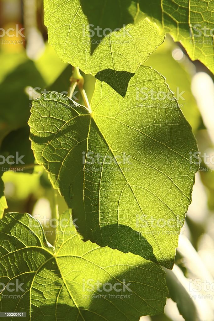 Grape leaves in back sunlight royalty-free stock photo