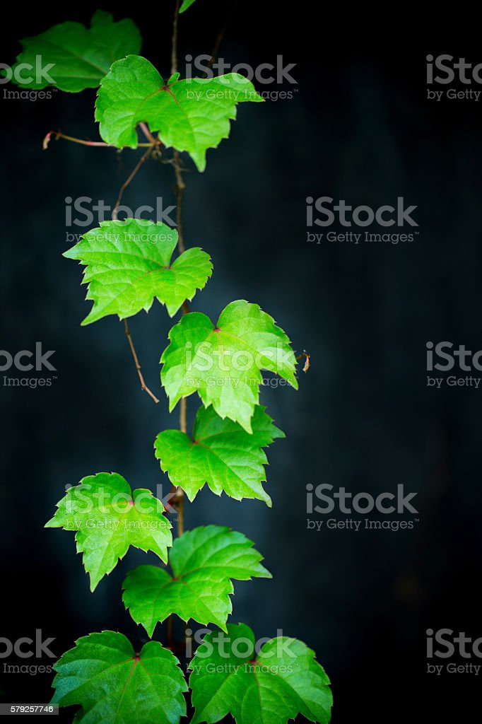 Grape leaves in summer on black background stock photo