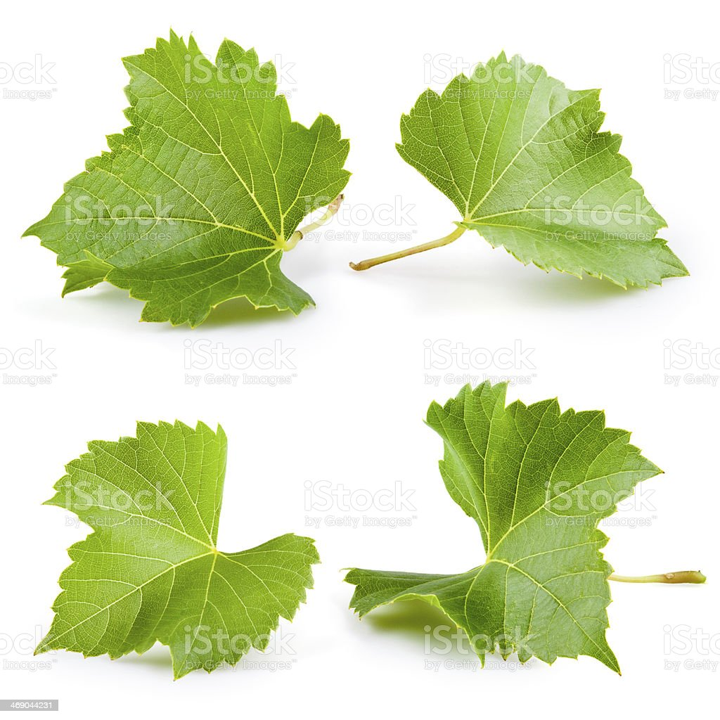 Grape leaves isolated on white. Collection stock photo