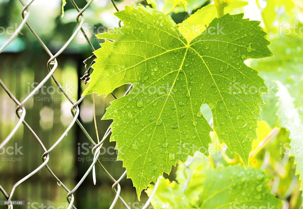 Grape leaves with drops close-up stock photo
