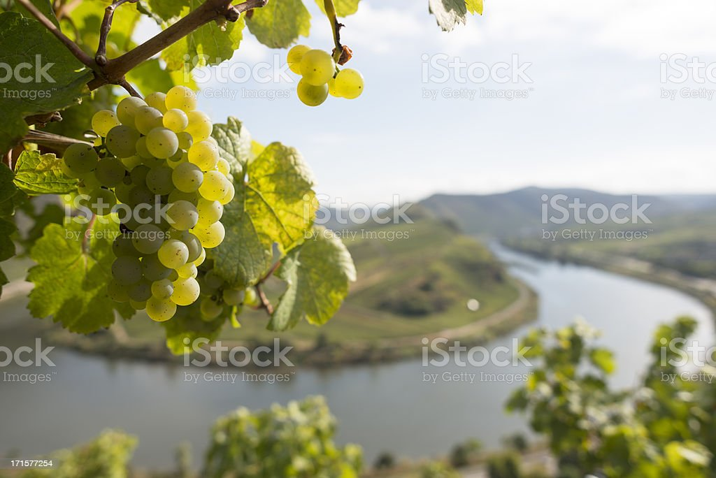 Grape, Moselle Loop, Mosel, Moselschleife, Bremm, Germany. stock photo