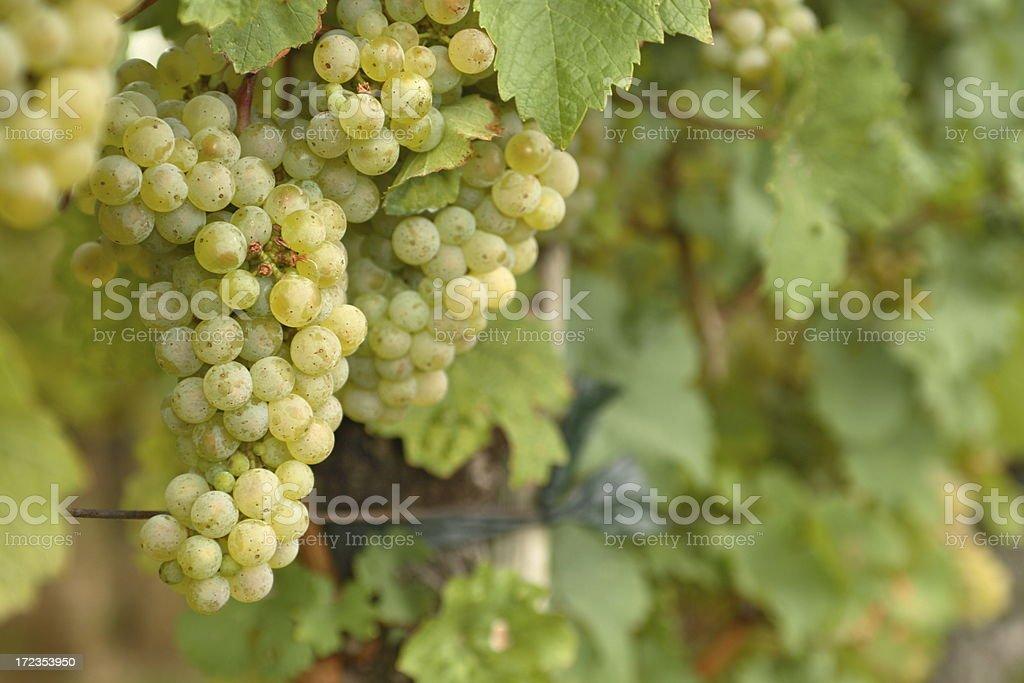 Grape on Vine royalty-free stock photo