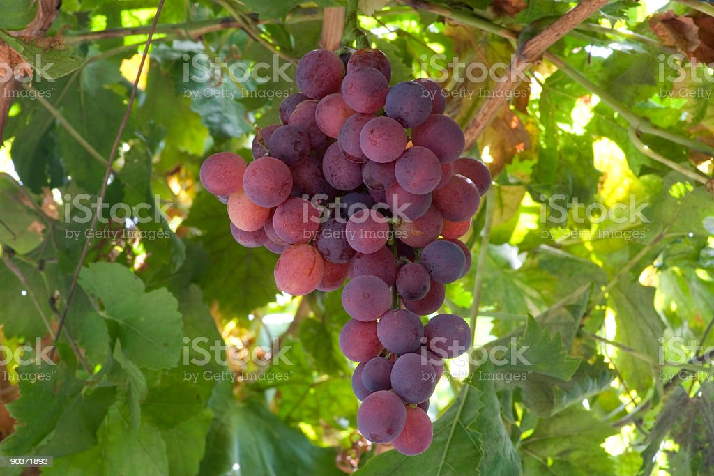 Grape on vine stock photo