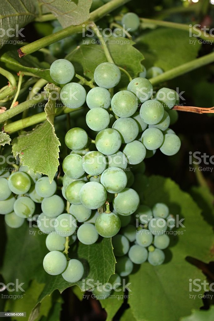 grape 'Phoenix' stock photo