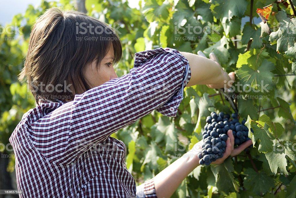 Grape picker stock photo