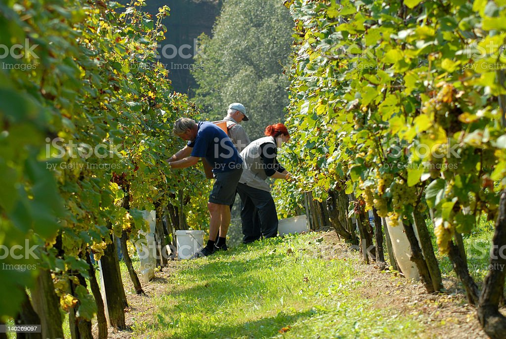Grape - pickers in vineyard royalty-free stock photo